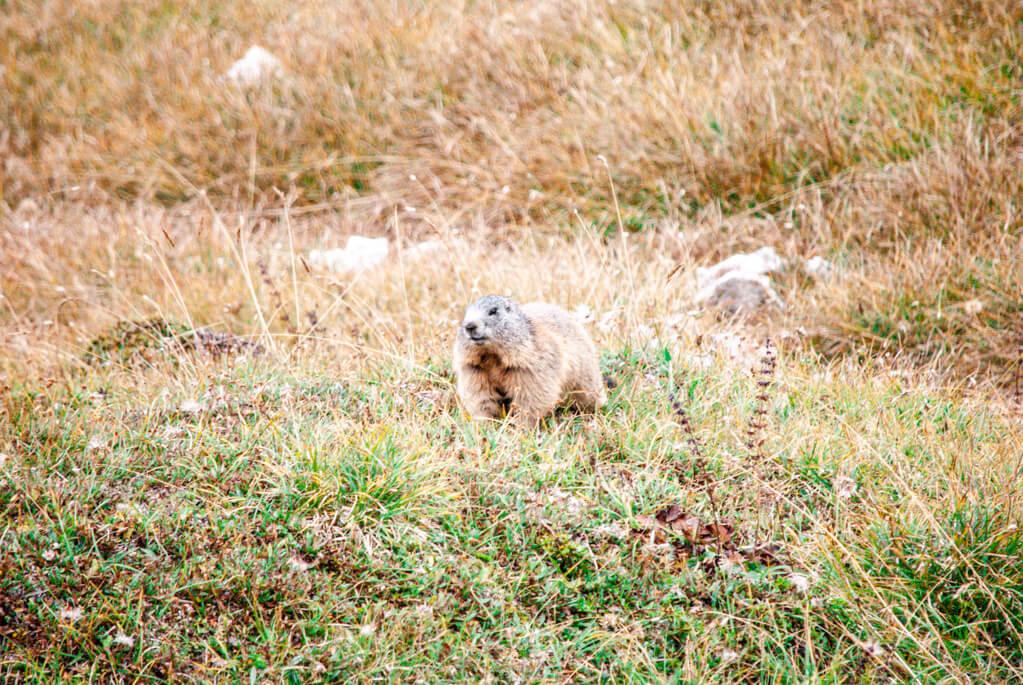 Murmeltiere entlang des Wanderwegs