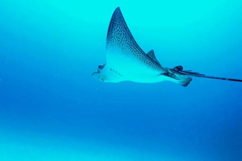 Rochen Galapagos