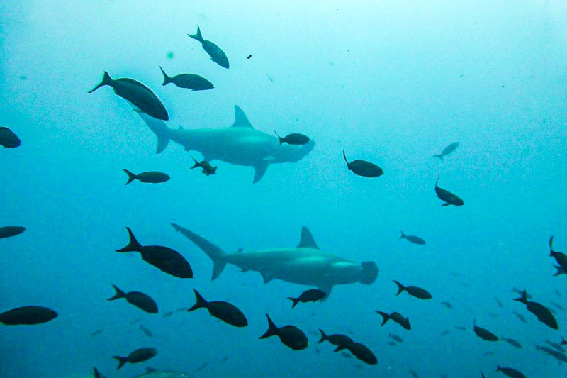 Hammerhaie Galapagos