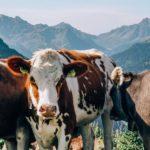 Kühe in Österreich