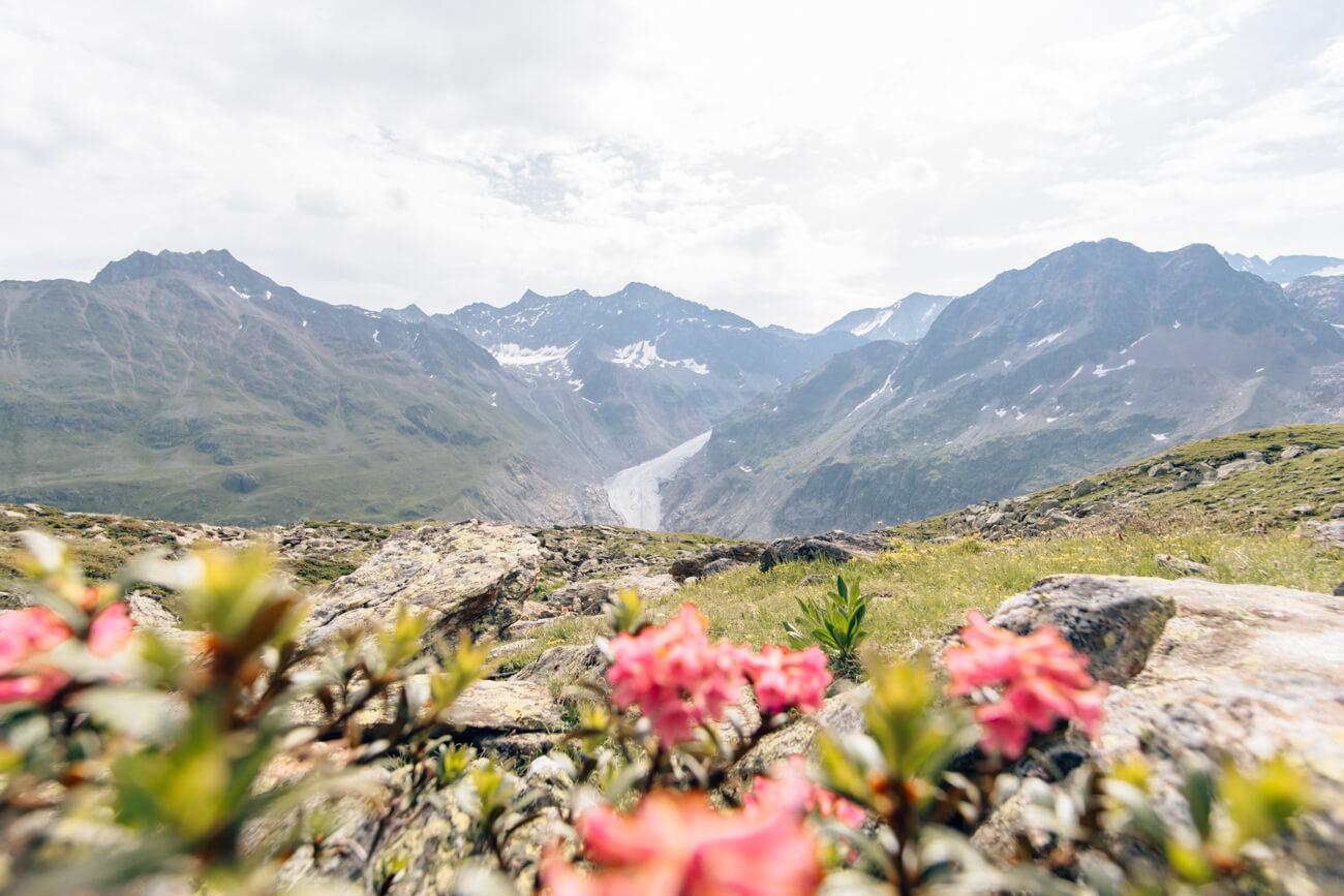 Alpenrosen mit Kaunertaler Gletscherblick