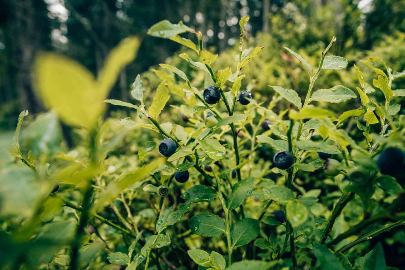 Blaubeeren Piller Moor